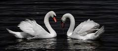 Лебединое озеро (¡! Nature B■x !¡) Tags: ballet swanlake cygnes lelacdescygnes img7607 лебединоеозеро tchaïkovski