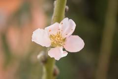 Flor de durazno (mario_nexx) Tags: flower tree nature flor peach durazno