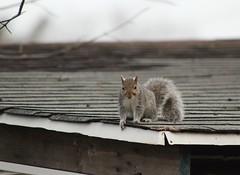 Waiting for peanuts (susanmbarlow) Tags: animal squirrel wildlife photograph delaware rodentia graysquirrel sciuruscarolinensis