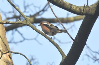 A Chaffinch in the sun in EXPLORED 4/ 2/ 2016