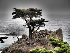 The Tree (jcspl) Tags: lone lonecypress