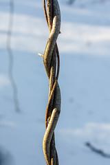 vines (Bmore Beachy) Tags: winter snow vines vine braid patapscovalleystatepark canonxsi