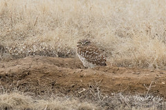 Watchful Burrowing Owl
