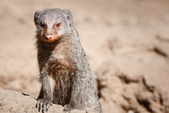 peek a boo (ashish_deshmukh) Tags: animal animals mongoose