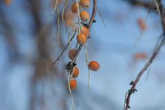 Bird Food (Karen McQuilkin) Tags: tree berries hike birdfood yellowandblue karenmcquilkin