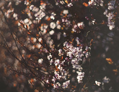 late afternoon blossom (Johnson Cameraface) Tags: pink winter 50mm blossom olympus m42 february f18 manualfocus em1 2016 micro43 meyeroptikgorlitzoreston johnsoncameraface omde1