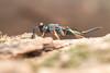 Eupelmidae. Chalcid wasp. (David Ball.) Tags: singapore chalcid eupelmidae canon270ex