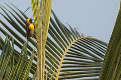 _MGL2667 Indian Baya Weaver - Bayavver - Ploceus ploceus phllippinus - Alappuzha - Our Land - Kerala - Indien_1 (Thanks for visit Soes' photo from the lovely natur) Tags: india birds kerala weavers indien alappuzha fugle vvere solveigsterschrder indianbayaweaverploceusploceusphilippinus