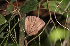 Koh-I-Noor (Amathuxidia amythaon dilucida) (moloch05) Tags: malaysia taman negara
