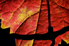 red yellow black green (donjuanmon) Tags: red abstract black green nature silhouette yellow leaf led flashlight sliders backlighted hss slidersunday donjuanmon