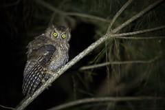 Corujinha-do-sul (Megascops sanctaecatarinae) (fabsciack) Tags: santa birds brasil night owl coruja noite catarina sul corujinha fraiburgo corujinhadosul megascopssp
