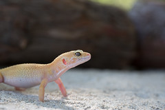 Leopard Gecko (straehle) Tags: california santabarbara us unitedstates leopardgecko