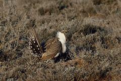 Greater sage-grouse (Centrocercus urophasianus) (rangerbatt) Tags: