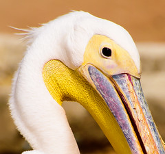 Pelican (a.el) Tags: white nature beautiful birds yellow zoo bill bright waterbird pelican riyadh saudiarabia ksa