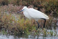 Little Egret, Rio Formosa Natural Park Faro Portugal (Lark Ascending) Tags: white bird portugal faro beak algarve riaformosa littleegret wader naturalpark wildlifereserve