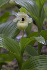 Cypripedium flavum (front view) (ab_orchid) Tags: china orchid native species cypripedium