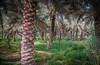 Diriyah Date Farm (ted henderer   photography) Tags: palms dates riyadh saudiarabia wadi datepalms rockpaper diriyah addiriyah atturaif imagesforthelittleprince hanifh wadihanifh