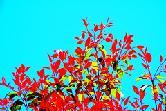 Cartoon Leaves on a Bubblegum Sky (Photographybyjw) Tags: blue original sky abstract colors leaves intense with shot north cartoon foliage photograph carolina strong bubblegum coor photographybyjw