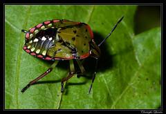 Nezara viridula 5th instar (cquintin) Tags: arthropoda heteroptera pentatomidae viridula nezara