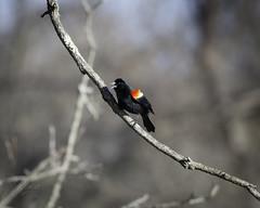 Red Winged Blackbird (Lost in the Hills) Tags: morning color spring nikon exterior naturallight clear logan appalachia hockinghills d800 redwingedblackbird lakelogan hockingcounty nonurbanscene 200500mm landscapeformat lostinthehills romanwilshanetsky