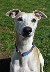 Hello (DiamondBonz) Tags: dog pet hound handsome whippet spanky
