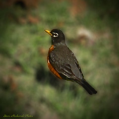 Visiting Robin_14288 (smack53) Tags: bird robin animal canon newjersey spring powershot springtime allgodscreatures g12 photoshopelements wingedcreature westmilford canonpowershotg12 smack53