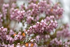 Heather Pink (Sotosoroto) Tags: seattle flowers home washington heather renton lakeridge