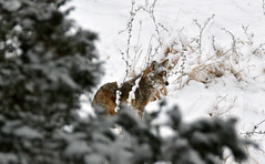 Coyote (Doodles N' Dabbles) Tags: coyote snow nature animal animals outside mammal outdoors wildlife canine canis