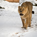 Lioness wanlking through the snow