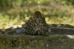 IMG_0056 1-2-3 Shake (oldimageshoppe) Tags: bird spring bath splashing brownthrasher ruffled