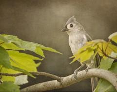 Tufted Titmouse (ccliffb) Tags: bird nature textures tuftedtitmouse texturedstrokes