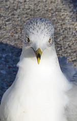 2016-01-03 (103) gull at Laurel Park (JLeeFleenor) Tags: photos photography md marylandracing marylandhorseracing laurelpark seagulls gulls gull birds bird maryland