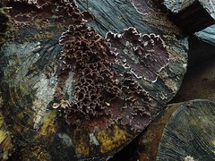 Fungus (Heathermary44) Tags: winter abstract tree texture forest logs fungi fungus