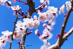 Spring is coming (加奈多) Tags: park pink tree japan spring plum orchard fantasy 木 mie 公園 梅園 梅 ピンク 幻想 三重 inabe fantasic いなべ 開花 plumfestival 満開 梅まつり 農業公園 いなべ市農業公園 いなべ梅まつり aplumorchard