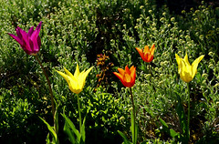 Tulpen / tulips (tulipa) (HEN-Magonza) Tags: flowers nature germany deutschland flora natur blumen tulip mainz springtime tulipa frhling tulpe rheinlandpfalz rhinelandpalatinate botanischergartenmainz mainzbotanicalgardens
