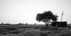 Life in Nemam (anandgovindan) Tags: life morning travel light blackandwhite india tree nature monochrome canon landscape blackwhite rice paddy outdoor fineart farming earlymorning highcontrast wideangle tokina highkey agriculture chennai ricepaddy tamilnadu panaroma paddyfield southindia cwc ultrawideangle nemam thiruvallur tiruvallur 1116mm tokina1116mm canon600d chennaiweekendclickers anandgoviphotography anandgovindan cwc524