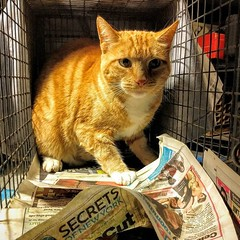 Angry Wade's secret turned out to be that he was already neutered! Anybody missing a short-tempered redhead? #oops #alreadyneutered #TNR (Jimmy Legs) Tags: out that was missing secret already redhead angry be oops he turned tnr anybody wades neutered shorttempered alreadyneutered