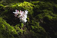IMG_9415 (elenafrancesz) Tags: uw cherry blossoms wordless
