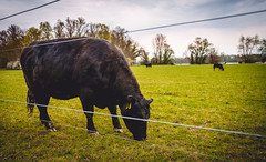 Cow eating grass (kevingomes1) Tags: black grass germany deutschland kuh cow cloudy outdoor eating lawn wiese gras karlsruhe landschaft schwarz wolkig isst badenwrttemberg