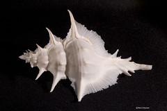Murex alabaster (Marco Ottaviani on/off) Tags: nature animals canon natura collection seashell animali collezione mollusk conchiglia alabaster murex gasteropod gasteropode mollusco muricidae siratus marcoottaviani muricinae