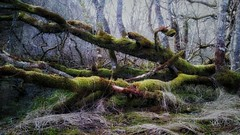 Searching for the X-Wing (Mark.L.Sutherland) Tags: cameraphone old tree green abandoned nature scotland moss highlands north cellphone samsung smartphone covered fallen sutherland westcoast mothernature fallentree dornoch phoneography starwarsreference androidography galaxys5 littletorboll searchingforthexwing