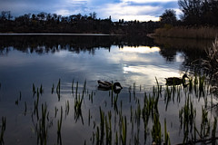 Out for a Late Swim (A Great Capture) Tags: toronto ontario canada nature birds swimming spring pond photographer dusk wildlife ducks canadian springtime mallards on agc 2016 grenadier jamesmitchell adjm wwwagreatcapturecom agreatcapture mobilejay