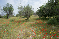 Springtime, Cyprus (OneEighteen) Tags: trees landscape countryside spring meadow cyprus poppies lefkara