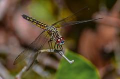 Blue Dasher -  (ajblake05) Tags: canada female dragonfly britishcolumbia insects northamerica coquitlam odonata libellulidae lowermainland greatervancouver bluedasher pachydiplaxlongipennis hexapoda minnekhadaregionalpark