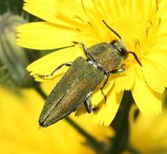 Anthaxia hungarica  (Pietro Niolu) Tags: sardegna coleoptera buprestidae ittiri anthaxia anthaxiahungarica