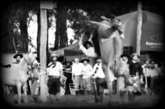Querendo bolear (Eduardo Amorim) Tags: brazil horses horse southamerica brasil criollo caballo cheval caballos cavalos pferde cavalli cavallo cavalo gauchos pferd riograndedosul pampa hest hevonen campanha brsil chevaux gaucho  amricadosul fronteira hst gacho  amriquedusud  gachos  sudamrica suramrica amricadelsur  sdamerika crioulo caballoscriollos criollos jineteada   americadelsud gineteada dompedrito  crioulos cavalocrioulo americameridionale caballocriollo eduardoamorim cavaloscrioulos