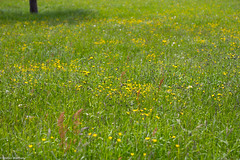 simply meadow (picturesbywalther) Tags: flower nature spring meadow wiese blumen gelb gras grn frhling
