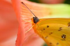 Papillons en Libert 2016 - Photo 46 (Le Chibouki frustr) Tags: macro butterfly insect nikon dof montral bokeh montreal butterflies insects fullframe fx botanicalgarden pdc jardinbotanique homa montrealbotanicalgarden hochelagamaisonneuve closeupfilter closeuplens jardinbotaniquedemontral d610 610 macrophotographie butterfliesgofree papillonsenlibert tamronspaf90mmf28dimacro nikond610 papillonsenlibert2016 butterfliesgofree2016 huitimevisite eighthvisit