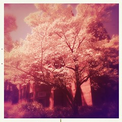 (Lul De Panbehchi  Photographist) Tags: red tree rojo rbol hipstamatic