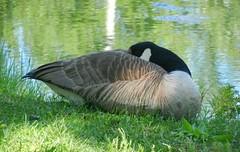 Bernache du Canada - Canada goose (***Richard de sousa***) Tags: green bird nature animal vert greatshot canadagoose oiseaux bernacheducanada